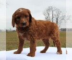 Small Photo #2 Irish Doodle Puppy For Sale in GREENCASTLE, PA, USA