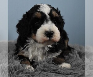 Australian Shepherd-Poodle (Miniature) Mix Puppy for sale in SUNBURY, PA, USA