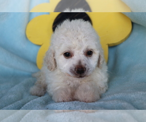 Cantel Puppy for sale in SHILOH, OH, USA