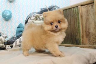 Pomeranian Puppy For Sale in LEBANON, NJ