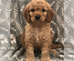Cavapoo-Goldendoodle Mix Puppy for sale in QUEEN CREEK, AZ, USA