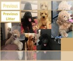 Image preview for Ad Listing. Nickname: Red Doodle Pups