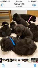 Newfoundland Puppy For Sale in PARAGON, IN, USA