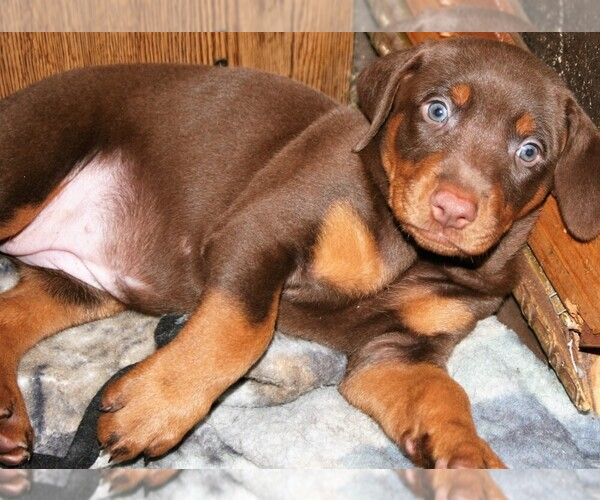 View Ad: Doberman Pinscher Puppy for Sale near Poland