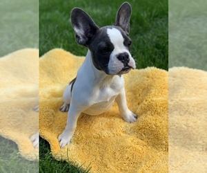 French Bulldog Puppy for sale in MONROE, WA, USA