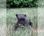 Puppy 7 French Bulldog