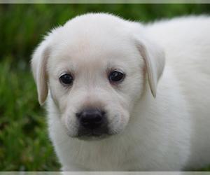 Labrador Retriever Puppy for sale in SENECA, KS, USA