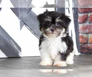 Shorkie Tzu Puppy for sale in BEL AIR, MD, USA