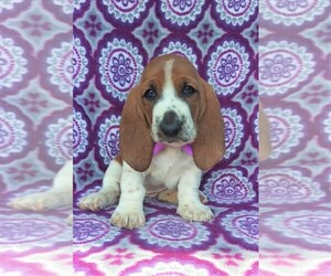 Basset Hound Puppy for sale in LANCASTER, PA, USA
