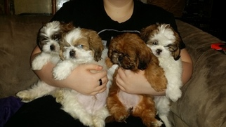 Shih Tzu Puppy for sale in CENTRALIA, MO, USA