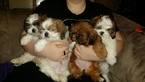 Shih Tzu Puppy For Sale in CENTRALIA, MO