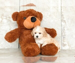 Maltipoo Puppy for sale in AMITY, NC, USA