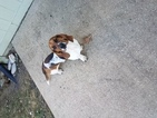 Basset Hound Puppy For Sale in SHAWNEE, KS