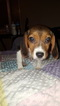 Beagle Puppy For Sale in COLORADO SPRINGS, CO
