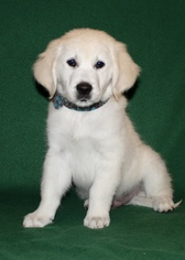 Golden Retriever Puppy For Sale in LAGRANGE, IN