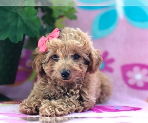 Poodle (Toy) Puppy for sale in NOTTINGHAM, PA, USA