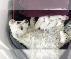 Maltese-Maltipoo Mix Puppy for sale in MARIETTA, OH, USA