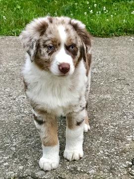 Kentucky Dog Rescue Australian Shepherd