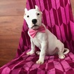 Dogo Argentino Puppy For Sale in QUARRYVILLE, Pennsylvania,
