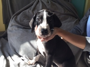 Great Dane Puppy For Sale in VACAVILLE, CA, USA