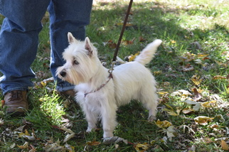 Westie Female AKC Limited Registration