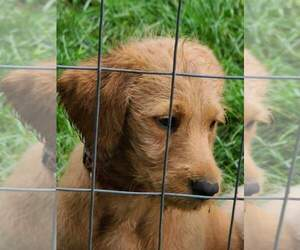 Labradoodle Puppy for sale in MILWAUKEE, WI, USA