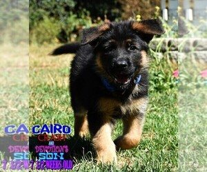 German Shepherd Dog Dog for Adoption in MURRIETA, California USA