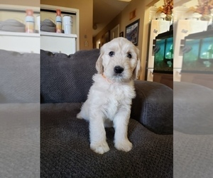 Double Doodle Puppy for Sale in HIGH POINT, North Carolina USA
