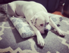 American Bulldog Dog For Adoption in CHICAGO, IL, USA
