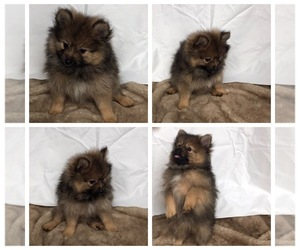 Pomeranian Puppy for sale in PHOENIX, AZ, USA
