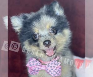 Pomeranian Puppy for Sale in SANTA CLARITA, California USA