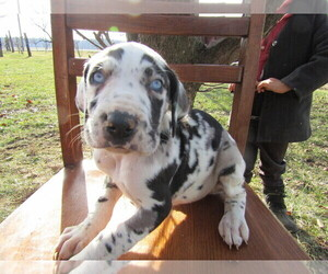 Great Dane Puppy for sale in DAYTON, OH, USA