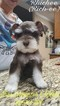Schnauzer (Miniature) Puppy For Sale in CYPRESS, TX, USA