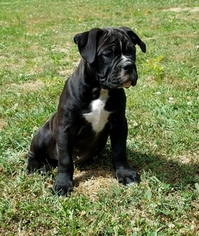 Olde English Bulldogge Puppy For Sale in CYNTHIANA, IN