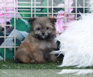 Pom-A-Poo Puppy for sale in MARIETTA, GA, USA