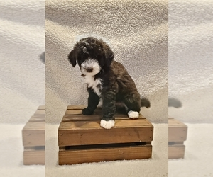 Bernedoodle Puppy for sale in ARLINGTON, WA, USA