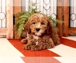 Small Photo #1 Goldendoodle Puppy For Sale in NAPLES, FL, USA