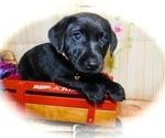 Small #2 Jack Russell Terrier-Labrador Retriever Mix