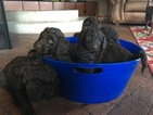 Labradoodle Puppy For Sale in ALBUQUERQUE, NM