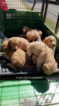 Golden Retriever Puppy For Sale in SCOOBA, MS, USA