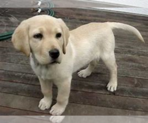 Labrador Retriever Puppy for sale in KALAMAZOO, MI, USA