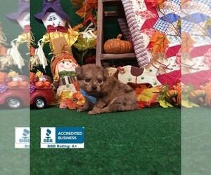 Pomeranian Puppy for sale in WINNSBORO, LA, USA