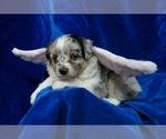 Small #12 Miniature Australian Shepherd