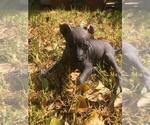 Small #15 Xoloitzcuintli (Mexican Hairless)
