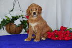 Goldendoodle Puppy For Sale in SUGARCREEK, OH, USA