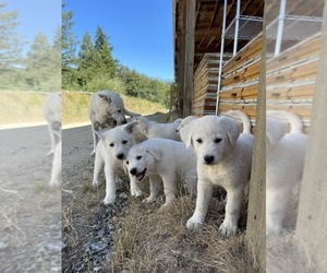 German Shepherd Dog-Great Pyrenees Mix Puppy for Sale in MYRTLE CREEK, Oregon USA