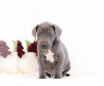 Puppy 5 Great Dane