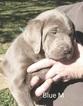 Labrador Retriever Puppy For Sale near 78061, Pearsall, TX, USA