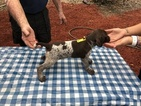 German Shorthaired Pointer Puppy For Sale in ALACHUA, Florida,