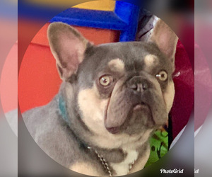 Father of the French Bulldog puppies born on 01/21/2020